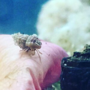 54 day old hermit crab, bred, hatched and raised in captivity by Mary Akers